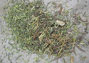 取り除かれたインディゴの種子を含む不純物