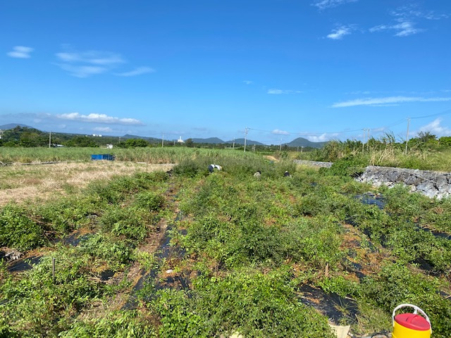 琉球ヘナ一年4ヶ月後の刈り取り